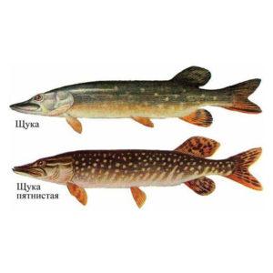 Щука Рыбалка в Карелии турбаза Талвисъярви в Карелии отдых летом и осенью