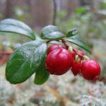 Брусника Ягоды в Карелии турбаза Талвисъярви в Карелии отдых летом и осенью