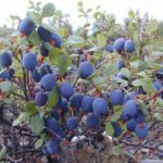 Голубика Ягоды в Карелии турбаза Талвисъярви в Карелии отдых летом и осенью
