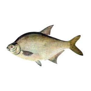 Лещь Рыбалка в Карелии турбаза Талвисъярви в Карелии отдых летом и осенью