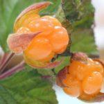 Морошка Ягоды в Карелии турбаза Талвисъярви в Карелии отдых летом и осенью