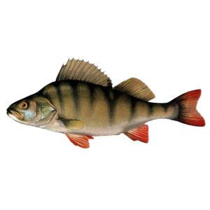Окунь Рыбалка в Карелии турбаза Талвисъярви в Карелии отдых летом и осенью